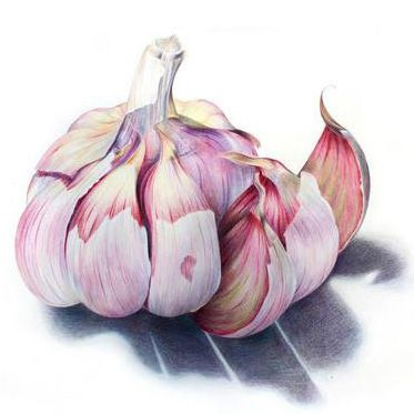 garlic-drawing